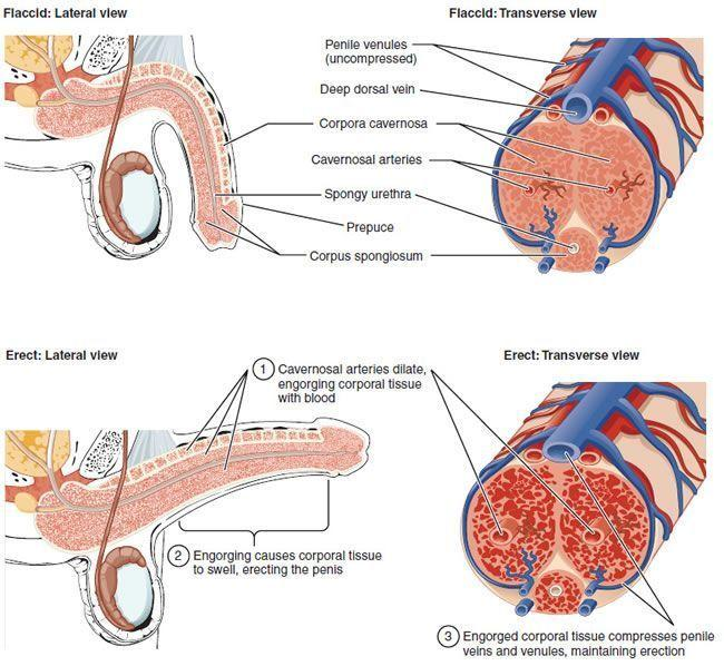 Imagem que representa a ereção causada pelo tecido de enchimento do sangue. Fonte CC BY 3.0 - https://en.wikipedia.org/wiki/Ereção